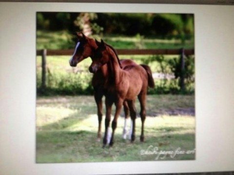 2013 Trussardi Foals Tru Beau Sardi chestnut colt out of Precious Beaunita (Precious Ebonita x NV Beau Bey) and Truly a Whorley Girl, bay filly out of Vasketta (Bask Anne x Versace)